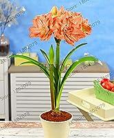 2球根PINKシリーズアマリリスアマリリス球根[未シード]、バドスリリー盆栽