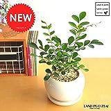LAND PLANTS ゲッキツ シルクジャスミン 白色丸型陶器鉢