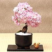 Bonsai Tree Sakura Bonsai,Bonsai Flower Cherry Blossoms for Home & Garden 3pcs : 1