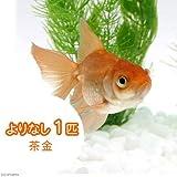 (国産金魚)よりなし(無選別) 茶金(1匹) 本州・四国限定[生体]