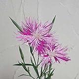カワラナデシコ(河原撫子):絞り咲き3号ポット 2株セット[珍しい花色の宿根草] ノーブランド品