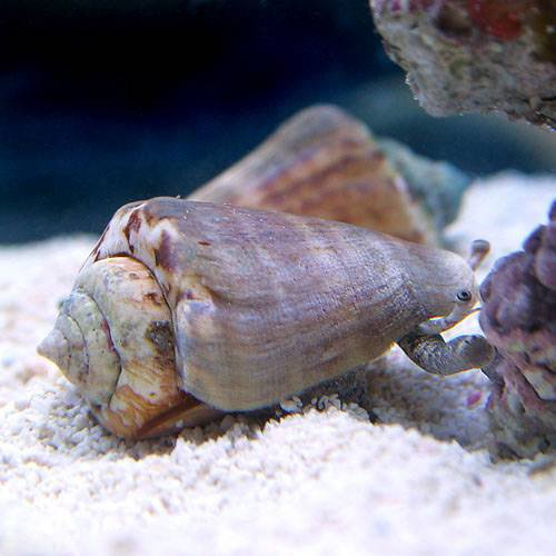 (海水魚 貝 無脊椎)マガキ貝 Mサイズ(2匹) 本州・四国限定[生体]