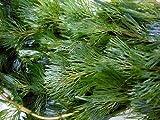 水草 金魚藻にも最適です カボンバ 10本【生体 名生園】