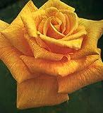 バラ苗 ザンブラ'80 大苗 木立バラ オレンジ色 四季咲き 大輪 バラ 苗 薔薇 バラ苗木 np