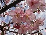 桜 苗木 さくら 河津桜 (かわづざくら) 1年生 接ぎ木 苗 庭木 落葉樹 シンボルツリーサクラ 苗