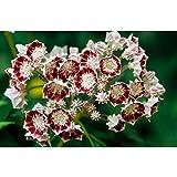 白い稀な花種子カルミアラティフォリア種子200種子