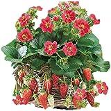 珍しい 紅花のイチゴ 種 6粒