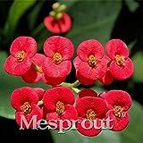 ユーフォルビアMiliiハイブリッドミックスミドル100粒いばらの種子Graptopetalum Rusbyiガーデン希少な開花植物のビッグフラワークラウン