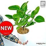 LAND PLANTS アルテシーマ 6号卓上サイズ