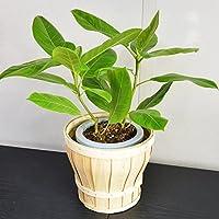 父の日 人気観葉植物 お洒落な木製バスケット入り フィカス アルテシーマ ゴムの木 鉢底より50cm~