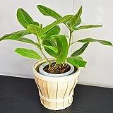 人気観葉植物 お洒落な木製バスケット入り フィカス アルテシーマ ゴムの木 鉢底より50cm~