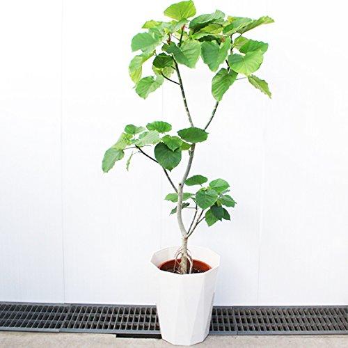 フィカス ウンベラータ ゴムの木 10号 大鉢 観葉植物 大型...