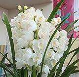 シンピジューム鉢植え 白色 お祝い・誕生日・お供えなどの花ギフト