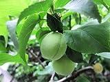 【6か月枯れ保証】【春・夏に収穫する果樹】ウメ/越の梅 15cmポット 5本セット