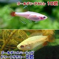 charm(チャーム) (熱帯魚)ゴールデンアカヒレ(10匹) + ゴールデンハニーレッド・ドワーフグラミー(2匹) 【生体】