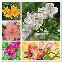 発芽SEEDS:グリーン:100本/袋ミックスカラーリリー種子ペルーのユリの花の種