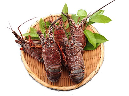 愛媛 訳あり 冷凍 ( 伊勢海老 ) 1-3尾500g分 刺身 焼物 茹でる 汁物 宇和海の幸問屋