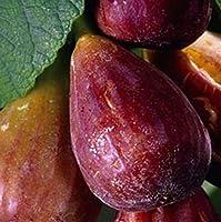 発芽種子:10マグノリア、ブランズウィック、マドンナ図ツリー、ゾーン7の3本の挿し木