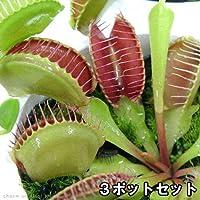 charm(チャーム) (食虫植物)ハエトリソウ (3ポットセット)