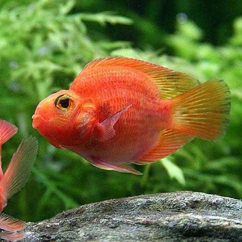 (熱帯魚)パープルパロットファイヤー・シクリッド(1匹) 北海道・九州・沖縄航空便要保温