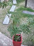観葉植物 中型 シェフレラコンパクタ 代わり仕立て 赤陶器鉢