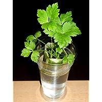 家庭用 ハーブの水耕栽培キット「窓際族」(窓辺で三つ葉)