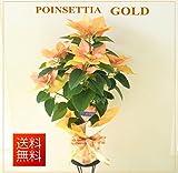 ポインセチア ゴールド【クリスマスギフト】