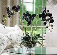 種子-100個の青い蘭の珍しい花盆栽の胡蝶蘭の蘭多年生の屋内の花家庭用鉢植え植栽:1