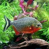 (熱帯魚)ピラニア・ナッテレリー SMサイズ(ブリード)(1匹) 本州・四国限定[生体]