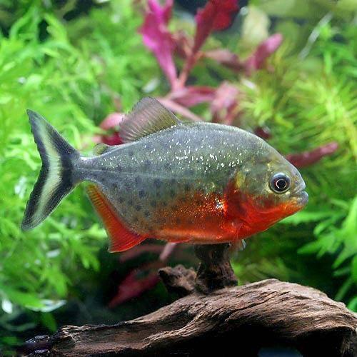 (熱帯魚)ピラニア・ナッテレリー 5~7cm(ブリード)(1匹) 北海道・九州・沖縄航空便要保温
