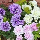 ペチュニア:ブルー&ホワイト&ピンクバニラ3.5号ポット 3色セット[花の苗] ノーブランド品