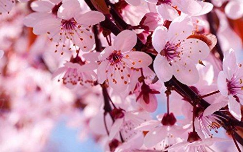 満開の春の花、ピンクの桜 キャンバスの 写真 ポスター 印刷 植物・花 - (50cmx33cm)