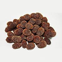 【BeeQuest】高濃度フルボ酸噴霧 ヤシャブシの実(10個) ビーシュリンプに最適