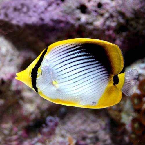 (海水魚)沖縄産 アケボノチョウチョウウオ(1匹) 本州・四国限定[生体]