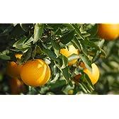 はるみオレンジ さとおばちゃんのはるみちゃん L・2Lサイズが15~18個入り(4.5kg前後) 【有田みかん】数量限定品