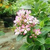 エスカロニア:ピンクエル6号ポット[初夏にピンクの花を咲かせる常緑低木] ノーブランド品