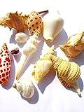 きれいな貝殻 お買い得 巻貝セット シェル マリン ディスプレイ かいがら