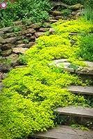 100Pcs忍び寄るタイムまたはマルチカラーロッククレス多年生の花グランドカバーフラワーガーデンデコレーション種子:7