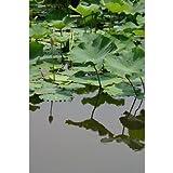 滋賀県琵琶湖に群生する蓮の花の成長過程6月後半ばポストカード 葉書はがきハガキ