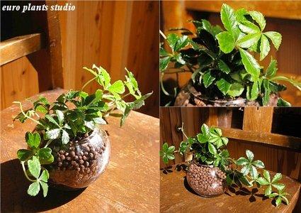 Parthenocissus Sugarvine / Modern Round Glass / シッサス・シュガーバイン / モダンラウンドグラスポット / インテリア観葉植物 / ハイドロカルチャーアレンジ