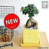 LAND PLANTS 【観葉植物】 がじゅまる イエロー (貫入カラーポット陶器鉢)盆栽仕立て