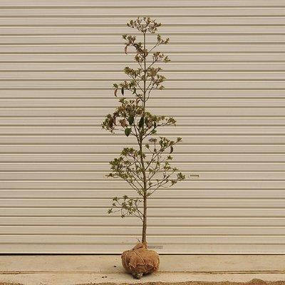 庭木:常緑ヤマボウシ(ホンコンエンシス・月光) H:約150cm