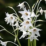 【山野草】白花イワタバコ