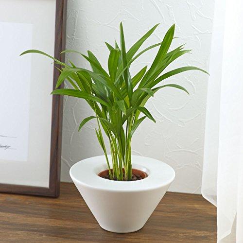【日比谷花壇|観葉植物】お手入れかんたん観葉植物「アレカヤシ(ホワイト)」