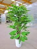 マングーカズラ 10号鉢(尺鉢)葉のボリュームもあり、エントランスなどでの豪華なウエルカムグリーンに最適です。強健で、耐陰性、耐寒力が強くお手入れが簡単です。雑誌やテレビ等のインテリアで度々利用されている人気の観葉植物です。