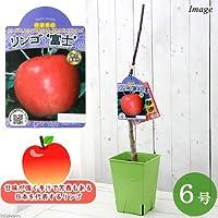 charm(チャーム) (観葉植物)果樹苗 リンゴ YD富士 6号(1鉢)