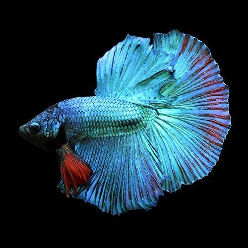 (熱帯魚)ベタ・ハーフムーン 色指定なし オス(1匹) 本州・四国限定[生体]