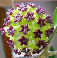 制限時間!!フクシアボールオーキッド盆栽ホーヤカルノサプラナス鉢植えオーキッドフラワーガーデン植物100粒/ lot、#723NLP:4