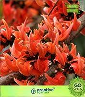 高い成長SEEDSだけでなくPLANTS:SEED Chamata - 森林種子の炎(パケットあたり20)