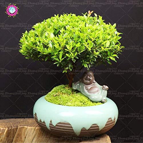 種子はパッケージ:20枚bonsaimini absorbhome庭シードシードに怪しげな種子常緑種のボックス